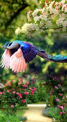 A beautiful peacock in flight !