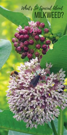 What's So Special About Milkweed Milkweed is integral to the life cycle of the monarch butterfly. Plant it in the garden to help save these beneficial critters whose numbers are dwindling. Butterfly Weed, Butterfly Plants, Monarch Butterfly, Butterflies, Weed Plants, Garden Plants, Milkweed Plant, Hummingbird Garden, Wild Edibles