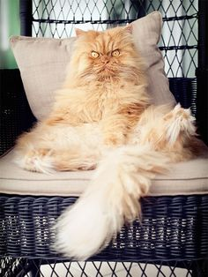 """If Tardar Sauce (better known as Grumpy Cat) is grumpy, then Garfi the Persian cat is something closer to """"angry"""" or """"plotting to murder you."""" Imagine waking up to that stony glare at with Funny Cats, Funny Animals, Cute Animals, Grumpy Cat, Crazy Cat Lady, Crazy Cats, Photos With Dog, Family Photos, Angry Cat"""