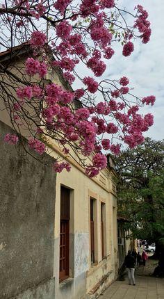 Fachada antigua y lapacho en flor. Asunción-Paraguay