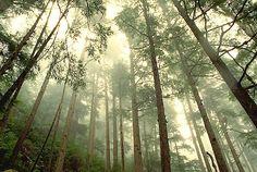 hemlock and morning mist
