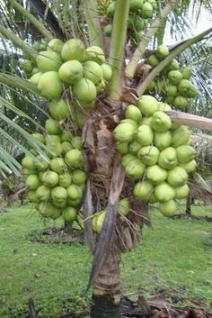 Best 12 Coconut Tree Loaded With Fruits – Page 678917712554278239 – SkillOfKing. Dwarf Fruit Trees, Fruit Plants, Fruit Garden, Fruit And Veg, Fruits And Veggies, Fresh Fruit, Vegetables, Healthy Fruits, Fruit Bearing Trees