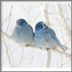 blue birds in winter