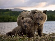 Sergei Ivanov- bear cubs Source: sergeyivanov.35photo.ru