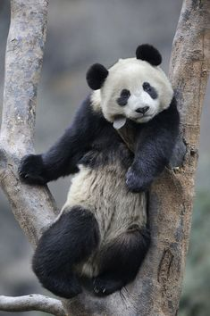 The finest quality all bamboo products for you and your home, including bamboo bed linen, bamboo towels, bamboo throws and bamboo baby sheets. Amazing Animal Pictures, Nature Pictures, Cool Pictures, Panda's Dream, Cute Animals Images, Panda Love, Thing 1, Nature Reserve, Beautiful Creatures