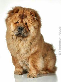 #chowchow #pet #dog