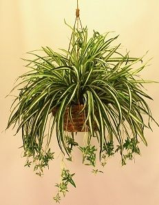 SPIDER PLANT | LIGHT: natural light, but not direct sunlight | WATER: Light watering. Allow soil to dry between waterings. Black tips or white halo development usually signifies over watering.