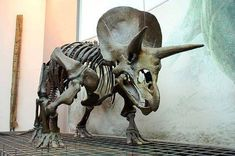 Triceratops skeleton /Senckenberg Museum, Frankfurt, Germany