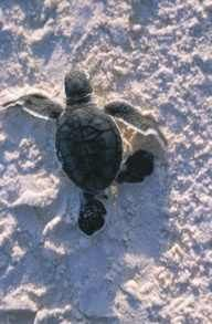 turtle in flordia