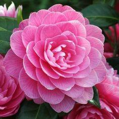 Camellia_Perfecta americana di recente costituzione, è uno splendido miscuglio di rosa, viola e carminio, mentre i petali, in numerose file, si alzano un po' a coppa verso l'alto.