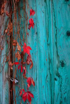 A read-leaf plant hanging on a locked, old, turquoise wooden door.