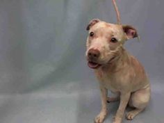 Manhattan Center CHLOE – A1060658 **DOH HOLD 12/15/15** FEMALE, WHITE, PIT BULL MIX, 1 yr STRAY – ONHOLDHERE, HOLD FOR DOH-B Reason BITEPEOPLE Intake condition EXAM REQ Intake Date 12/15/2015, From NY 10455, DueOut Date 12/18/2015, Urgent Pets on Death Row, Inc