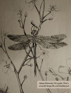 Art Contest Semifinalist, Grades 9-12: Hine's emerald dragonfly and bladderpod, Abbey Edmonds, Age 16, Scales Mound School