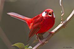 A toutinegra Red (Cardellina ruber) é uma pequena ave passeriforme endêmico para as terras altas do México, ao norte do Istmo de Tehuantepec. É intimamente relacionado com, e forma uma superspecies com a toutinegra-de-rosa de cabeça do sul do México e Guatemala.