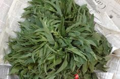 Nettle recipes - these stinging weeds grow all over my yard.  But I shall have my revenge!  nettle gnochi, nettle pesto, nettle fritatta, nettle risotto, halibut with nettle pesto, pasta with nettles and mushrooms, and how to freeze nettles for use in future recipes.
