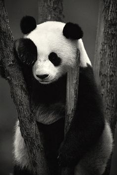 panda's life: eat bamboo, sleep, and look cute! Animals And Pets, Baby Animals, Cute Animals, Beautiful Creatures, Animals Beautiful, Photo Panda, Panda Mignon, Panda Lindo, Panda Bebe