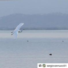 #Repost @sergiovannucci51  #nature #naturelovers #trasimenolake #umbria #landscape #landscapelovers #landscape_lover #bird #heron #airone #wildlife #italy #white #canon