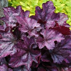 "Introduced in 2009, heuchera 'Plum Royale' is an exciting release from our friends at Terra Nova. It features a small mound of shiny purple leaves. There is a color change but this is the first purple heuchera that looks so colorful all summer long. The color combines well with plants that possess silver foliage. A ""must have"" for those with a purple themed garden. Tolerant of heat and humidity. PP#20935.  MATURE HEIGHT: Foliage 8"". In bloom 16"".  MATURE SPREAD: 14"".  HARDINESS ZONES…"