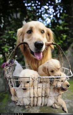 Cyoot Puppy ob teh Day: Basket of Puppies - Loldogs - Dogs - Puppy Dog Pictures - I Has A Hotdog!