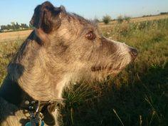 Betty ,my lovely lurcher!