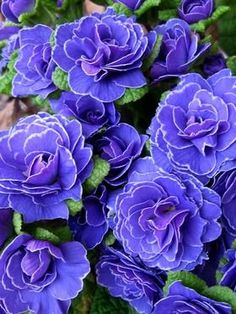 Primula Belarina®️️ Amethyst Ice -- Bluestone Perennials Lavender blue ruffled blossoms emerge with a touch of violet in the center. Purple Perennials, Flowers Perennials, Planting Flowers, Flowers Garden, White Perennial Flowers, Zone 4 Perennials, Shade Garden, Garden Plants, Garden Shrubs