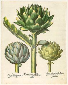 Image result for artichoke botanical print free