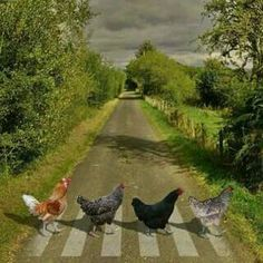 Why did the Chickens cross Abbey Road? to parody The Beatles but w chickens! Farm Animals, Animals And Pets, Funny Animals, Cute Animals, Abbey Road, Beautiful Birds, Animals Beautiful, Chickens And Roosters, Pet Chickens