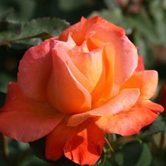Out of Africa Sunset Rose