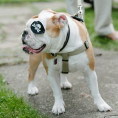 Pirate Pet Outfit for Seaside Wedding // Mary Wyar Photography // http://www.theknot.com/weddings/album/a-preppy-seaside-affair-in-put-in-bay-oh-146558