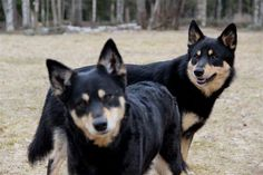 Is the Lapponian Herder right for you? Read our online guide complete with pics and info on characteristics, health and life style. Husky, Herding Dogs, Reindeer, Finland, Animals, Pictures, Animales, Animaux, Animal