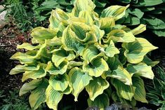 'Magic Fire' Hosta Courtesy of Mario Wick and Naylor Creek