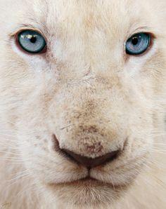 White Lion by Che Grove Beautiful Cats, Animals Beautiful, Cute Baby Animals, Animals And Pets, Wild Animals, Gato Grande, Lion Cub, Cute Animal Videos, Exotic Pets