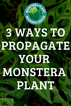 Ready to propagate your monstera plants? Discover the 3 different methods you can use to propagate your monstera plants. Read The Ultimate Guide to Monstera Propagation. House Plant Care, House Plants, Types Of Houseplants, Fiddle Leaf Fig Tree, Spider Plants, Propagation, Planting Flowers, How To Find Out, Potted Plants