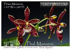 Must SEE BIN- Phal Easy to grow Black x sib- Collector/'s item mannii var