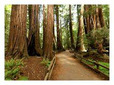 San Francisco area - Muir Woods