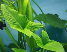 Anubias gracilis Big Aquarium, Live Aquarium Plants, Planted Aquarium, Freshwater Aquarium Plants, Freshwater Fish, Aquascaping Plants, Fish Tanks, Aquatic Plants, Plantar