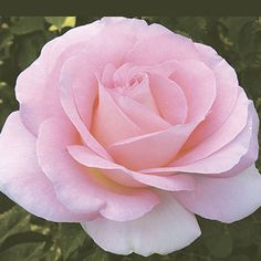 2007 Falling in Love with the Portland Rose Festival, Hybrid Tea for sale at seven dees Large Flowers, Cut Flowers, Colorful Flowers, Flower Colors, Classy Wallpaper, Beautiful Nature Wallpaper, Pink Love, Pretty In Pink, Amazing Flowers
