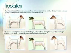 what is the difference between parson russell terrier and jack russell terrier - Google Search