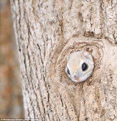 Siberian Flying Squirrels - 02