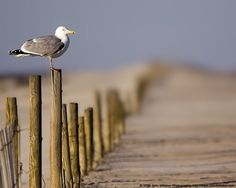 The gull's fence