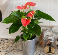 The anthurium plant is one of the longest-lasting houseplants, but even they don't stay in bloom forever. Here's a quick primer on the life cycle of an anthurium and what to do when their blooms start to fade. Flowering House Plants, Blooming Plants, Blooming Flowers, Orchid Plant Care, Orchid Plants, Orchids, Growing Succulents, Planting Flowers, Anthurium Care