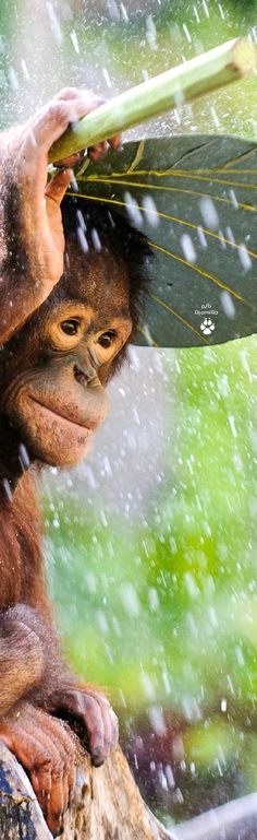 Little Orangutan Shelters From the Rain