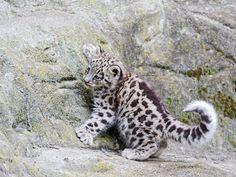 Mohan the Snow Leopard cub having fun! by Tambako the Jaguar, via Flickr