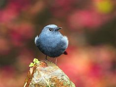 鉛色水鶇.攝於台灣 台中縣 武陵農場 Plumbeous Redstart, taken at Wuling Farm, Taichung County, TAIWAN