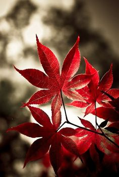 Fall Foliage --- Red Japanese Maple or もみじ (Momiji) in Japanese.
