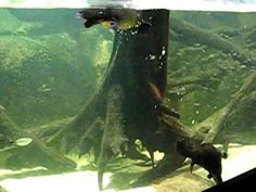 Video of swimming Platypus - Monotreme: Egg-laying mammal