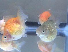 goldfish(ping-pong-pearl) - not good at swimming...
