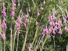 Hoofdafbeelding Dierama pulcherrimum