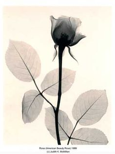 The X-Ray Art of Photographer Judith K McMillan | Rosa (American Beauty Rose)