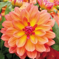 """Fire Pot Dahlia:  A fiery blend of yellow, gold, orange, and crimson, the brilliant blooms on this compact Dahlia are almost as colorful as actual flames, and certainly longer-lasting! """"Only"""" 3 to 4 inches wide, they are ideally suited for use in the annual or perennial border, or as a container subject."""